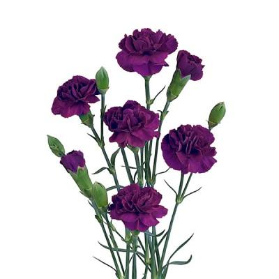 Гвоздика Шабо фиолетовая