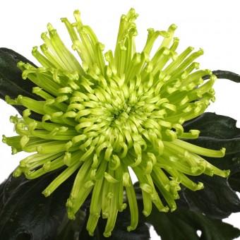 Хризантема Анастасия Зеленая