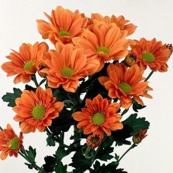 Хризантема Гранд Оранж