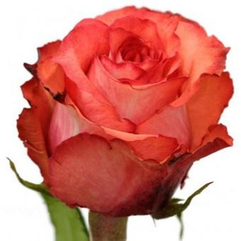 Роза Игуана