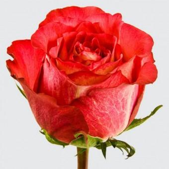 Роза Игуазу
