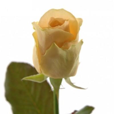 Роза Аваланш Пич