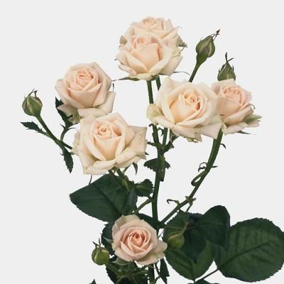 Роза кустовая Елена